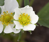 Honeoye Strawberry Blossom Fragaria Ananassa — Stock Photo