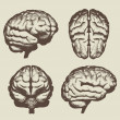 Royalty-Free Stock Imagen vectorial: Human brain