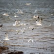 Seagulls over the river — Stock Photo