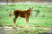 Foal in the steppe. — Foto Stock