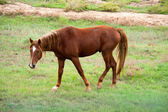 草原馬. — ストック写真
