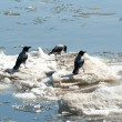 Crows on ice — Stock Photo