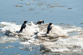 Crows on ice — Stok fotoğraf