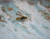 Seated wasp — Stock Photo