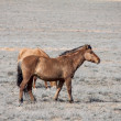 Steppe horse — Stock Photo