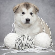 Malamute puppy with a ball of string - Stock Photo