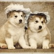 Stock Photo: Malamute puppies