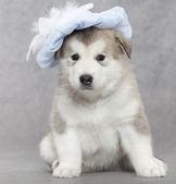 Cachorro de alaskan malamute — Foto de Stock