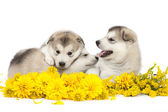 Malamute puppies with yellow flowers — Stock Photo