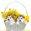 Stock Photo: Two malamute puppies in flower basket