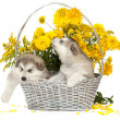 Stock Photo: Malamute puppies in flower basket