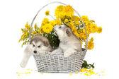 Cachorros malamute en una cesta de flores — Foto de Stock