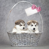 Alaskan malamute puppies in a basket — Stock Photo