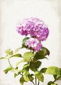 Watercolor pink hydrangea — Stock Photo