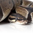 Portrait of python snake closeup - Stock Photo