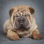 Portrait of sharpei puppy dog — Stock Photo