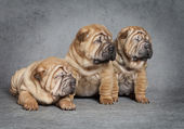 Portrait of sharpei puppies — Stock Photo