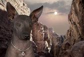 Portrait of xoloitzcuintle dog — Stock Photo
