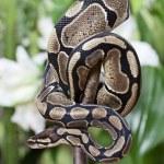 Royal Python snake — Stock Photo #19696669