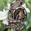 Royal Python snake — Stock Photo #19696669