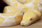 Lavender Tiger Albino Python — Stock Photo