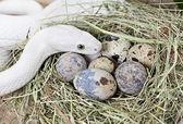 Texas rat snake on a clutch of eggs — Stock Photo