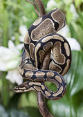 Royal Python snake — Stock Photo