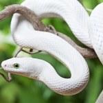 Royal Python snake on a wooden branch — Stock Photo #20034945