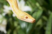 Lavender Tiger Albino Python closeup — Stock Photo