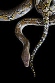 Python on black background — Stock Photo