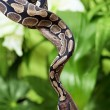 Royal Python on a branch — Stock Photo