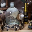 Vintage still life with Royal Python  — Stock Photo