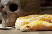 Tiger Albino Python snake — Stock Photo