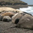 Seal rookery — Stock Video