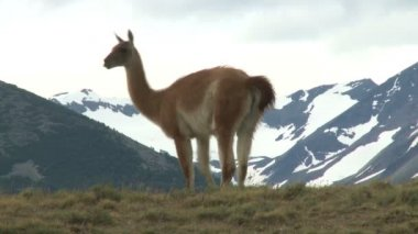 Chilean guanaco — Stock Video