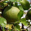 Picking grapefruit from tree — Stock Video