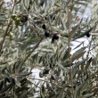 Olive tree — Stock Video #23532319