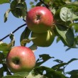Stock Video: Apple tree