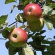 Hand picking up ripen apples from the tree — Stock Video
