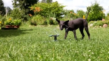 Mexican xoloitzcuintle puppy plays with the water sprinkler — Stockvideo