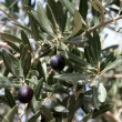 Stock Video: Olive tree,