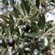 Olive tree, — Stock Video