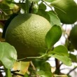 Grapefruit tree — Stock Video #23605341