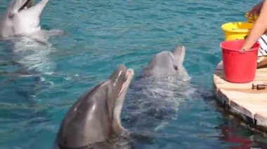 Person feeding a dolphins in Eilat dolphinarium, Israel — Stock Video