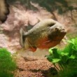 Stock Video: Piranha