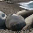 Stock Video: Seal rookery on coastline of Atlantic Ocean. Patagonia, Argentina