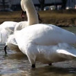 Stock Video: White swan