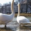 Stock Video: White swans
