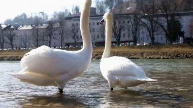 Cigni bianchi — Video Stock