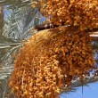 Date palm — Stock Video